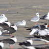 Bonaparte's Gulls and Black Skimmers  Port Aransas  Texas