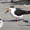 Black Skimmer  Port Aransas  Texas