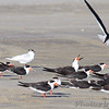Black Skimmers  Port Aransas  Texas