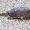 Snapping Turtle  In front of Lincoln Shields barrier