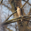Cooper's Hawk  Bridgeton, Mo.  03/08/2013  8:24am