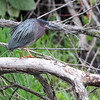 Green Heron  Squaw Creek Natural Wildlife Refuge