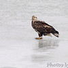 Bald Eagle  Riverlands Migratory Bird Sanctuary