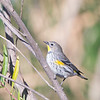 Warbler_Yellow-rumped TAB141DX-28996-Edit