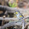 Warbler_Yellow-rumped TAB141DX-28989-Edit