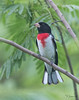 Grosbeak_Rose-breasted TAB151DX-13691-Edit