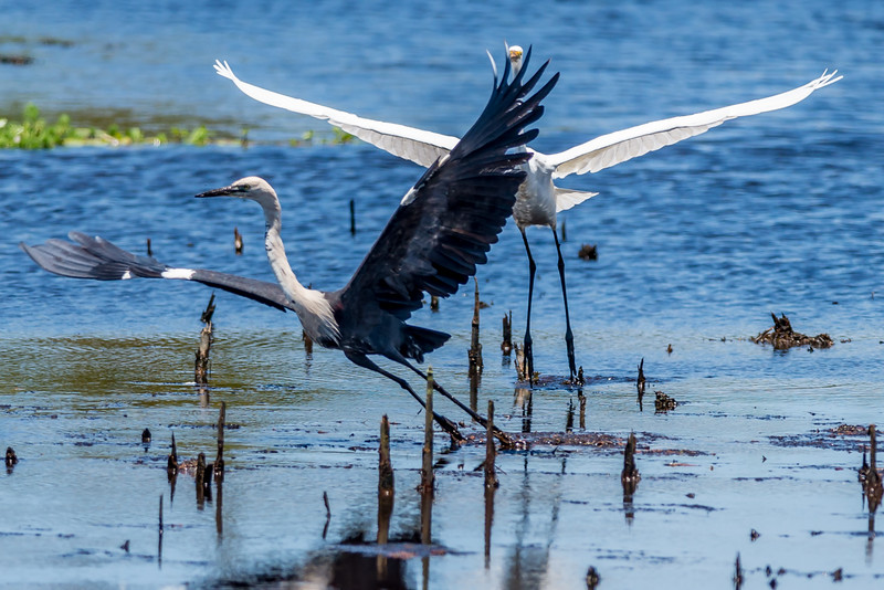 White-necked Heron catching eel being threatened by a Eastern Great Egret