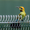 Rainbow Bee-eater showing off his tail