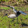 White-necked Heron with eel and Australian White Ibis
