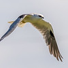 Black-shoulderd Kite