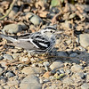 BLACK AND WHITE WARBLER, BABEL SLOUGH, 1-3-15.