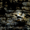 Northern Gannet, Farallon Islands, 7-14-13. Extremely cropped image.