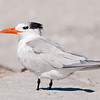 Tern - Royal - Bowman's Beach - Sanibel Island, FL - 03