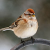 Sparrow - American Tree - Dunning Lake - Itasca County, MN