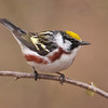 Warbler - Chestnut-sided - Plughat Point - Itasca County, MN - 01