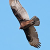 Vulture - Turkey - Bowman's Beach - Sanibel Island, FL - 02