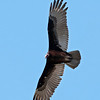 Vulture - Turkey - Bowman's Beach - Sanibel Island, FL - 01