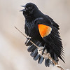 Blackbird - Red-winged - male - displaying  - Cohasset, MN