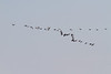 Flock of geese flying down the Moose River.