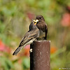 A hungry fledgling Black Phoebe confused by the large piece of popcorn its parent is trying to feed it. The parent gave up since the popcorn would not fit down its throat!