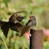A hungry fledgling Black Phoebe eager to receive food from one of its parents