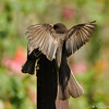 A hungry fledgling Black Phoebe receiving food from one of its parents