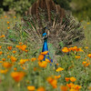 A young male Indian Peacock displaying his feathers in the wildflower garden at the LA Arboretum.