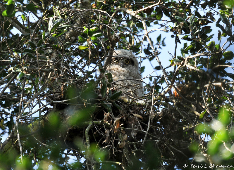 A Great Horned Owlet, in its Oak tree nest, with its mother perched in a tree nearby