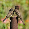 A fledgling Black Phoebe with one of its parents