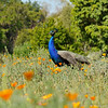 "A male Indian Peacock, amongst the California Poppies, in the ""Crescent Farm""  at the LA Arboretum. The Crescent Farm is an educational, hands-on, chemical free environment, promoting water conservation and sustainable gardening."