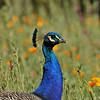 "A male Indian Peacock, amongst the wildflowers, of the ""Crescent Farm""  at the LA Arboretum. The Crescent Farm is an educational, hands-on, chemical free environment, promoting water conservation and sustainable gardening."