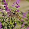 An Anna's Hummingbird in mid-flight over a Sage plant