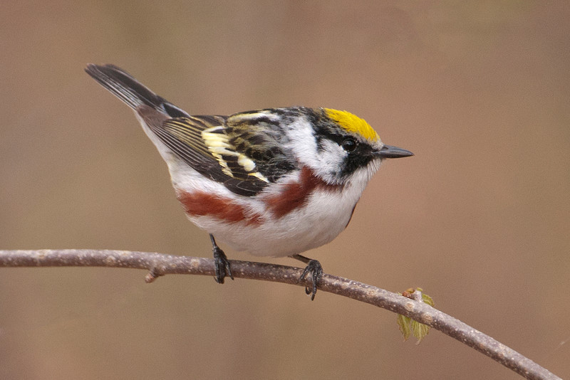 Warbler - Chestnut-sided - Plughat Point - Itasca County, MN