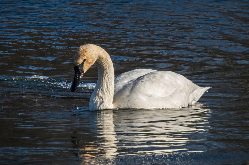D004-2013 Trumpeter swan, one of a pair. . Huron River at Gallup Park, Ann Arbor, Michigan January 4, 2013 (late morning)