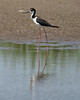 080712__233_black-necked_stilt (1)