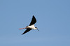 080712__503_black-necked_stilt