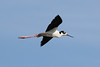 080712__493_black-necked_stilt (1)