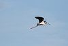 080712__515_black-necked_stilt