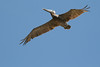 080712__197_brown_pelican
