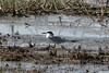 080712__449_forsters_tern_juvie (1)