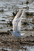 080712__450_forsters_tern_juvie (1)