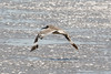 080712__176_willet_in_flight