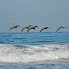 Juvenile and adult Brown Pelicans flying over the ocean in Monterey, CA.