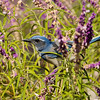 A Western Scrub-Jay in a Salvia bush