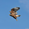 Ferruginous Hawk (dark morph) in flight