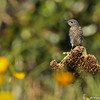 A fledgling Western Bluebird perched on a sunflower that has been eaten by the birds