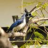 This is a female Black-throated Magpie-Jay that was photographed in Burbank, CA on May 9, 2014. This bird was busy building a nest in the area. The Black-throated Magpie-Jay is native to Northwest Mexico and this species has been seen in Burbank dating back to 2010. No one knows for sure if this is a wild bird or escaped from a breeder. Either way, it was a great surprise to see her and a treat to photograph her.