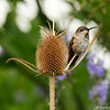 A male Allen's Hummingbird perched on a dried Thistle seed pod