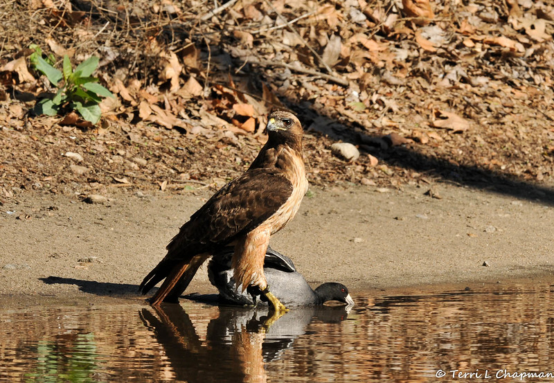 An adult Red-tailed Hawk swooped down and pinned this American Coot that I was photographing. This coot had just been foraging for food with three other coots and the three coots did not fly away, but instead were standing nearby and vocalizing. The hawk got spooked by me and released the coot, which promptly joined the other coots. All four coots scrambled to safety underneath a nearby bush.