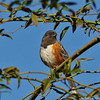 A Spotted Towhee perched in a rose bush
